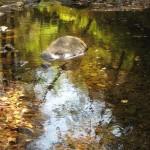 Камень в реке. Еломовский ключ. Фото: Александр Журавлев