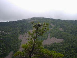 Карликовый кедр, шишки на уровне 2 метров над землей